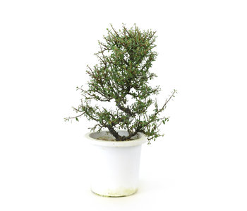 Rock cotoneaster, 20,5 cm, ± 7 years old