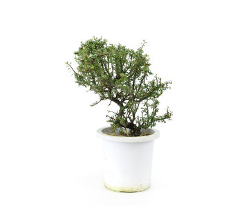 Rock cotoneaster, 20,6 cm, ± 7 years old