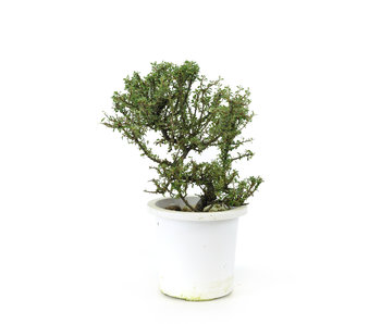 Rock cotoneaster, 20,7 cm, ± 7 years old