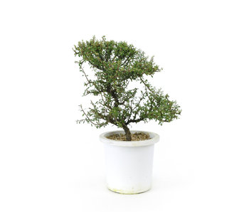 Rock cotoneaster, 20,8 cm, ± 7 years old