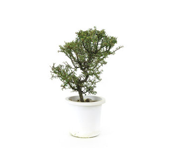 Rock cotoneaster, 20,9 cm, ± 7 years old