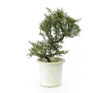 Rock cotoneaster, 21 cm, ± 7 years old
