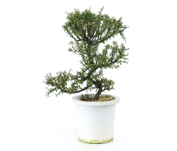Rock cotoneaster, 21,1 cm, ± 7 years old