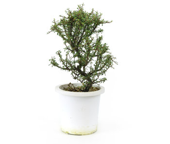 Rock cotoneaster, 21,2 cm, ± 7 years old
