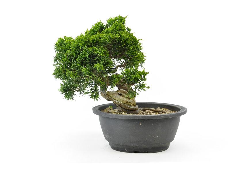 Chinese jeneverbes (Itoigawa), 19 cm, ± 15 jaar oud