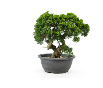 Chinese juniper (Itoigawa), 23 cm, ± 15 years old