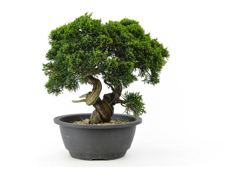 Chinese jeneverbes (Itoigawa), 23 cm, ± 15 jaar oud