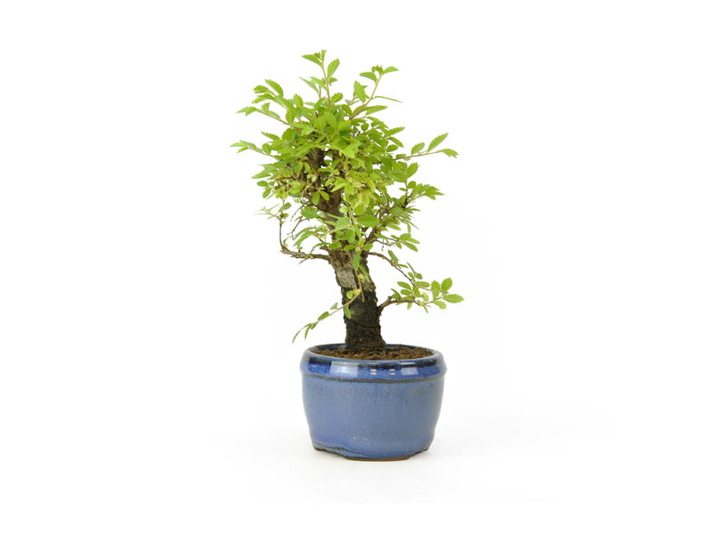 Chinese lep, kleinbladerig met kurk, 15,3 cm, ± 8 jaar oud
