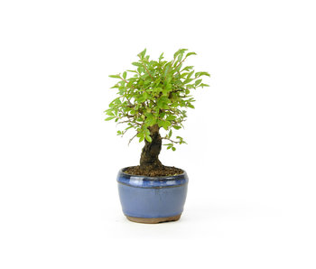 Cork bark elm with small leaves, 12,3 cm, ± 8 years old