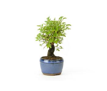 Olmo di corteccia di sughero con foglie piccole, 12,3 cm, ± 8 anni