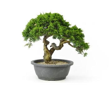 Chinese jeneverbes, 27 cm, ± 18 jaar oud