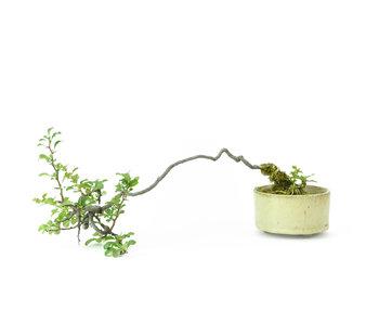 Cotogna cinese (C.lagena (Chojubai)), 20 cm, ± 10 anni
