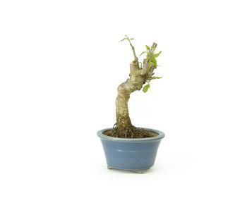 Cornus kosa, 13 cm, ± 15 anni