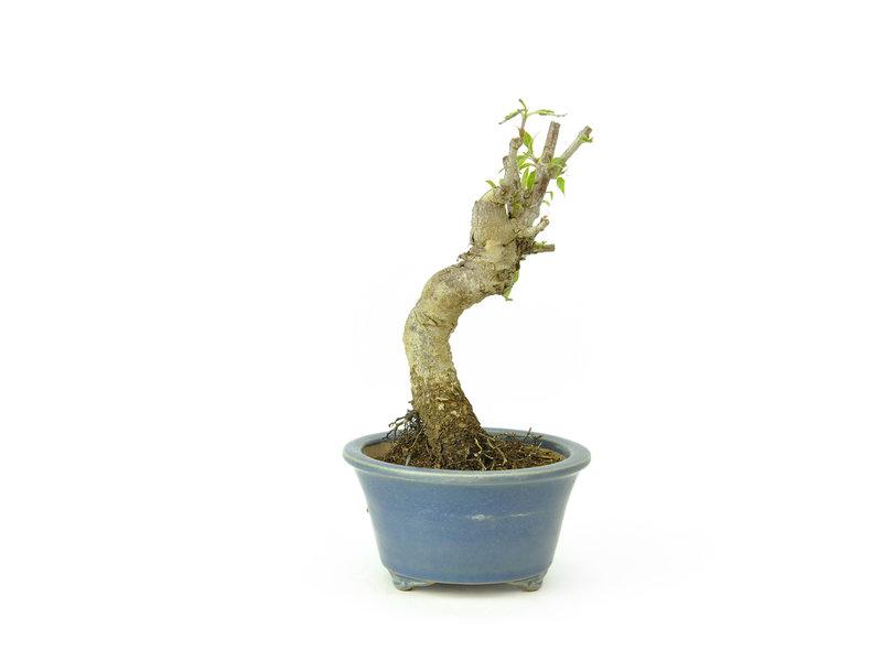 Cornus kosa, 13 cm, ± 15 jaar oud