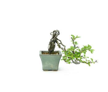 Bloeiende kweepeer (C.lagena (Chojubai)), 12 cm, ± 11 jaar oud