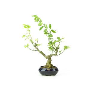 Winged spindletree (Nishikigi), 12,5 cm, ± 8 years old