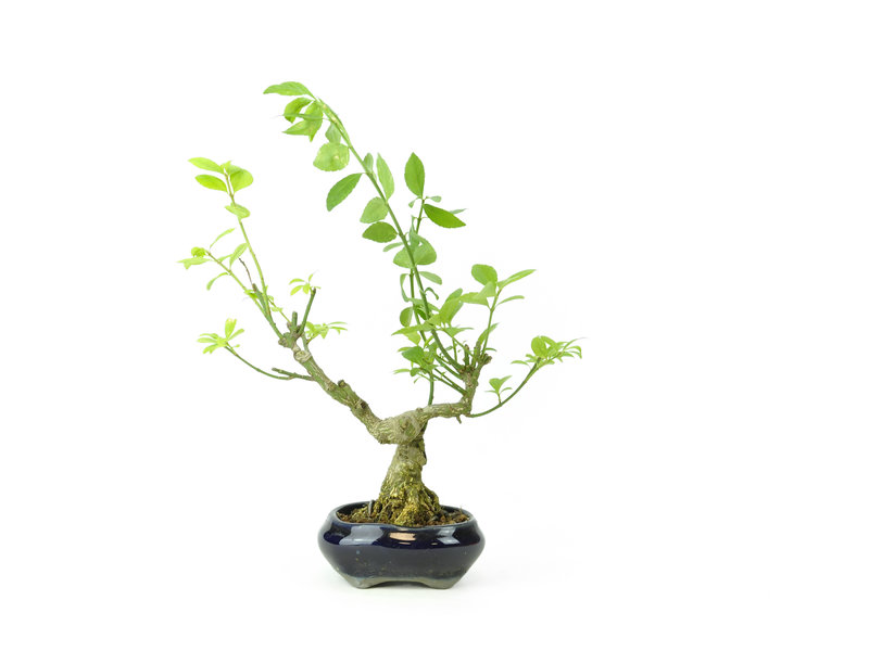 Geflügelter Spindelbaum (Nishikigi), 12,5 cm, ± 8 Jahre alt, mit einem Tosui-Topf