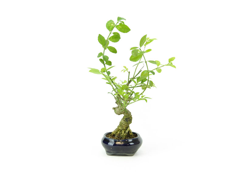 Spindletree alato (Nishikigi), 12,5 cm, ± 8 anni con una pentola Tosui