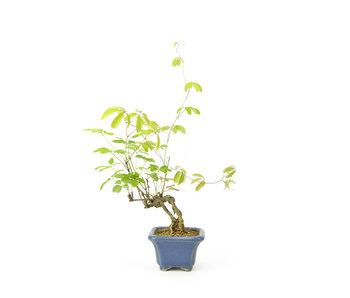 Akebia (schijnaugurk), 13 cm, ± 12 jaar oud