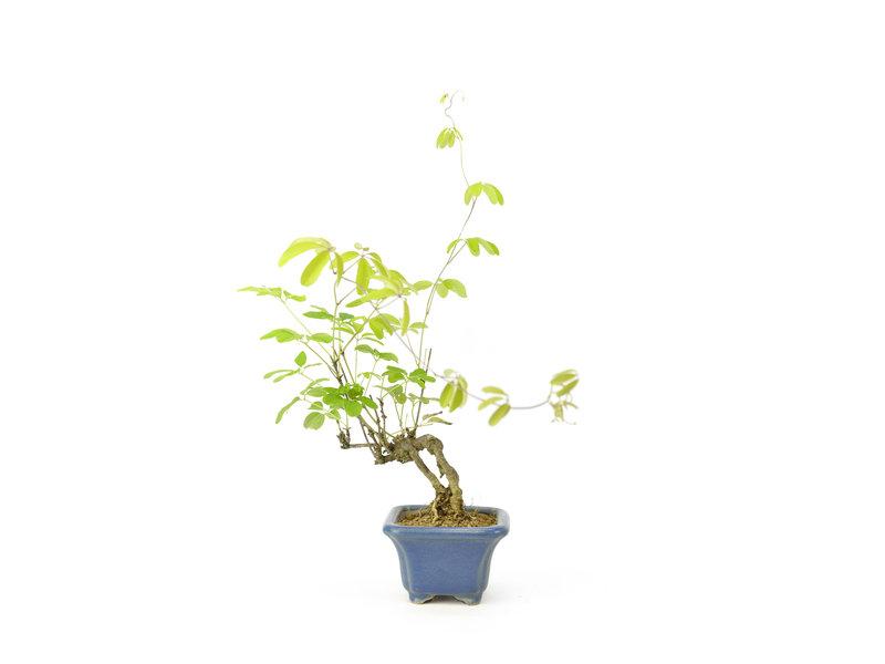 Akebia à cinq feuilles, 13 cm, ± 12 ans avec des baies rondes