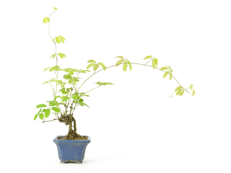 Five leaf akebia, 13 cm, ± 12 years old with round berries