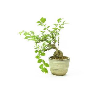 Spindletree alato, 12 cm, ± 8 anni