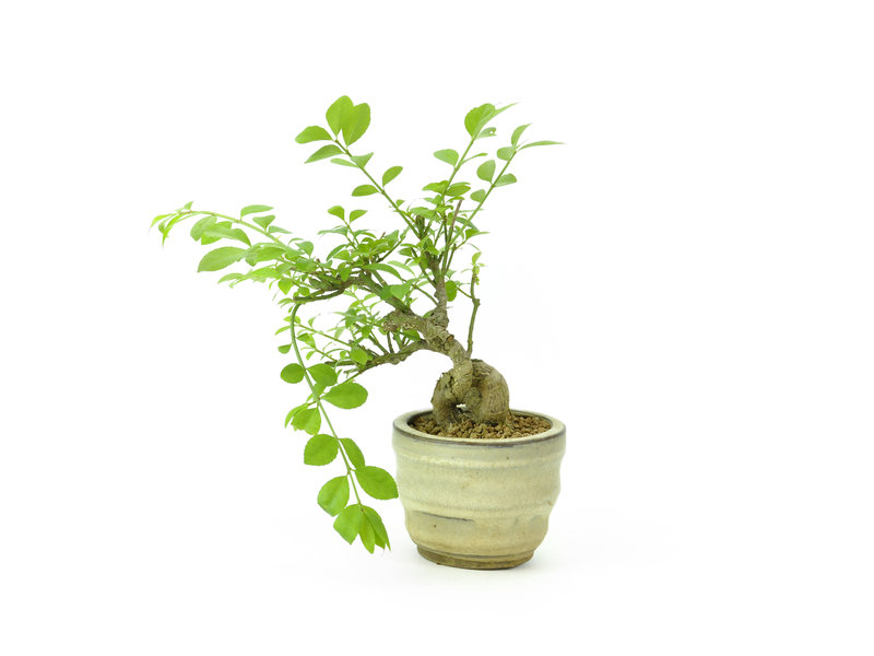 Winged spindletree, 12 cm, ± 8 years old