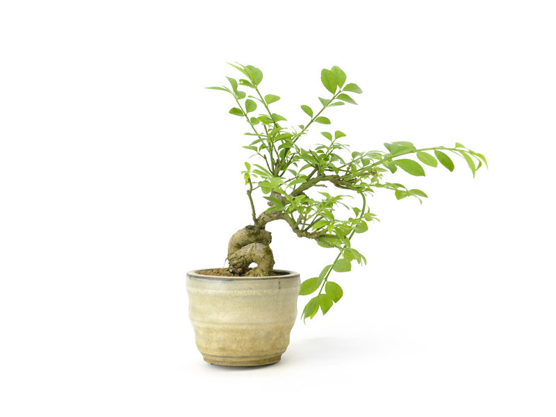 Geflügelter Spindelbaum, 12 cm, ± 8 Jahre alt
