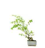 Geflügelter Spindelbaum, 13 cm, ± 8 Jahre alt