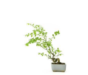 Spindletree alato, 13 cm, ± 8 anni