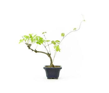 Akebia de cinco hojas, 16 cm, ± 8 años de edad