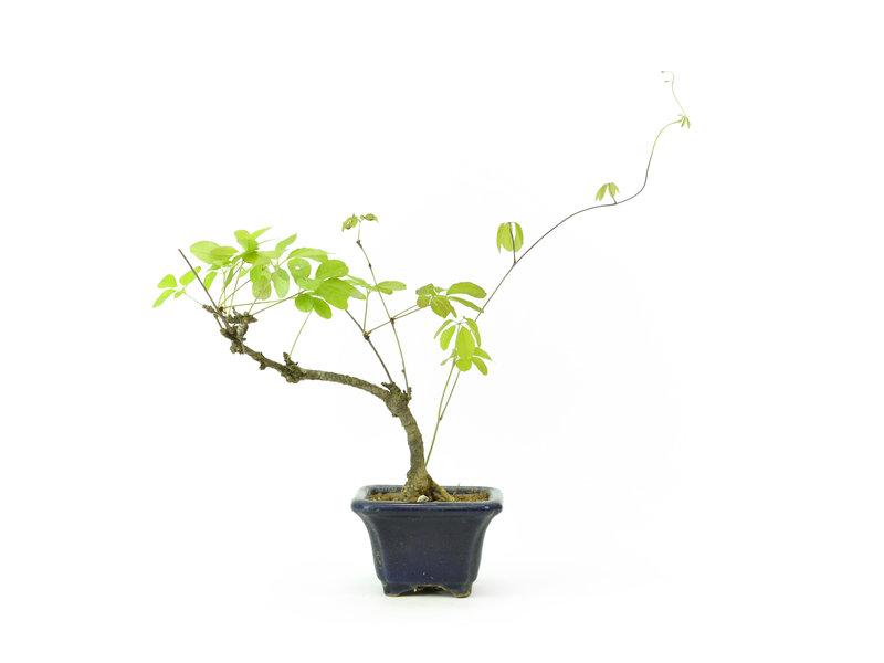 Fünfblatt-Akebia, 16 cm, ± 8 Jahre alt