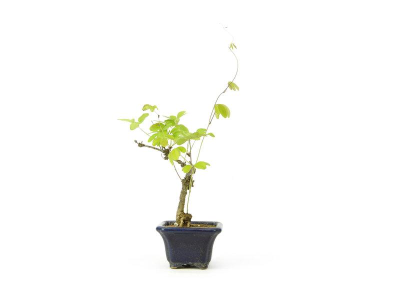 Akebia (schijnaugurk), 16 cm, ± 8 jaar oud