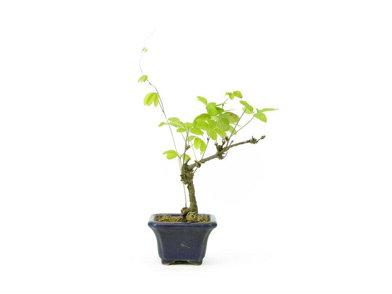 Five leaf akebia, 16 cm, ± 8 years old