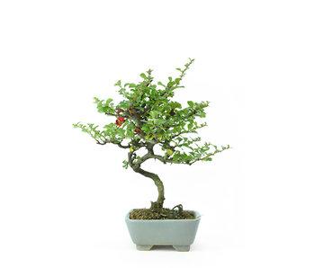 Mela cotogna cinese (C.lagena (Chojubai)), 24 cm, ± 15 anni