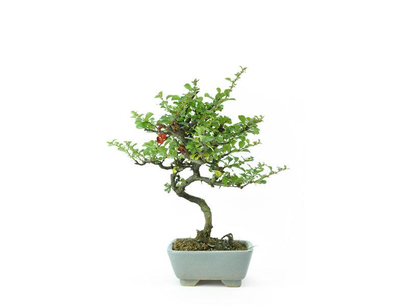 Mela cotogna cinese (C.lagena (Chojubai)), 24 cm, ± 15 anni con fiori rossi