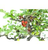 Bloeiende kweepeer (C.lagena (Chojubai)), 24 cm, ± 15 jaar oud met rode bloemen