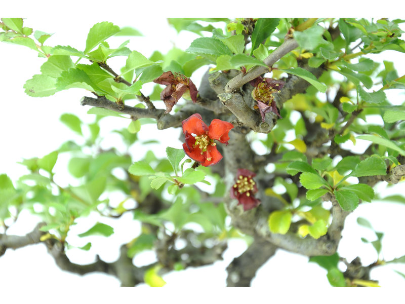 Chinese quince (C.lagena (Chojubai)), 24 cm, ± 15 years old with red flowers