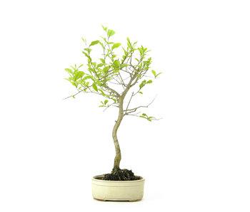 Kakiboom, 50 cm, ± 12 jaar oud