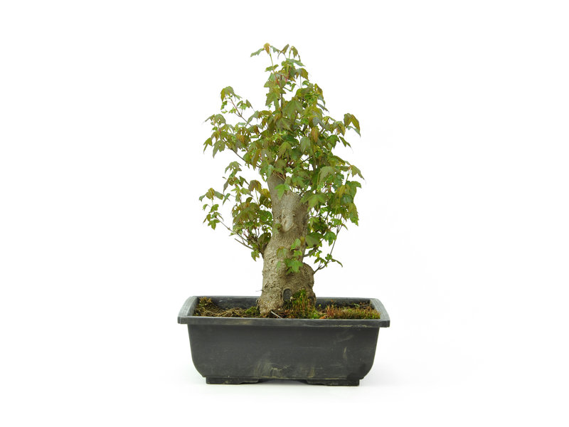 Trident maple, 30 cm, ± 15 years old