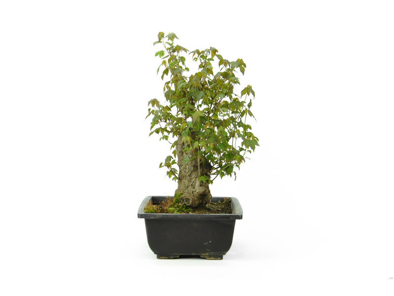 Acero tridente, 30 cm, ± 15 anni