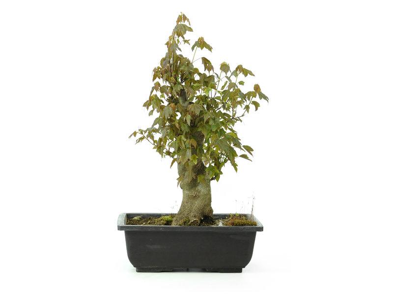 Acero tridente, 31 cm, ± 15 anni