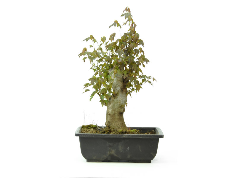 Trident maple, 31 cm, ± 15 years old