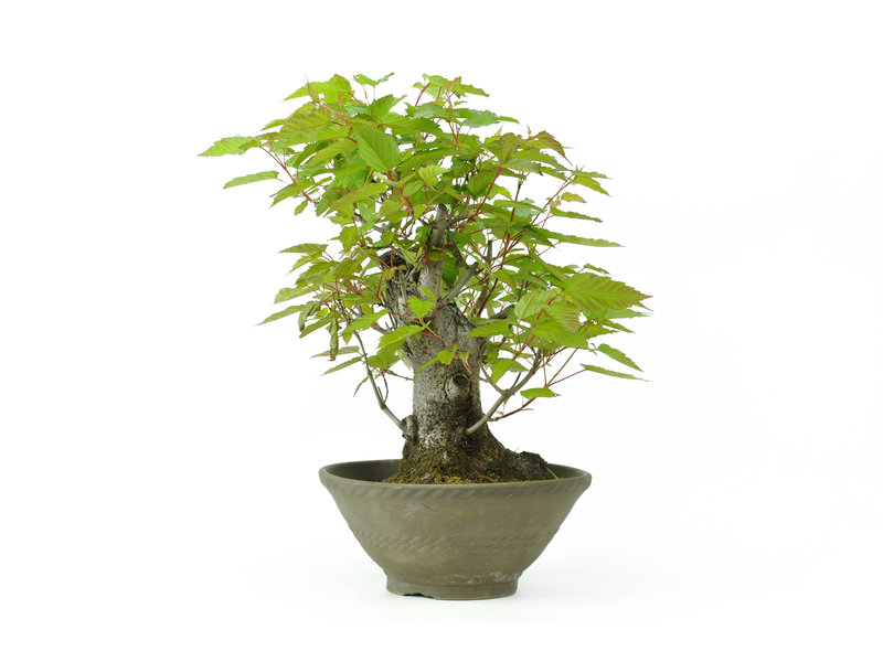 Trident maple, 31 cm, ± 20 years old