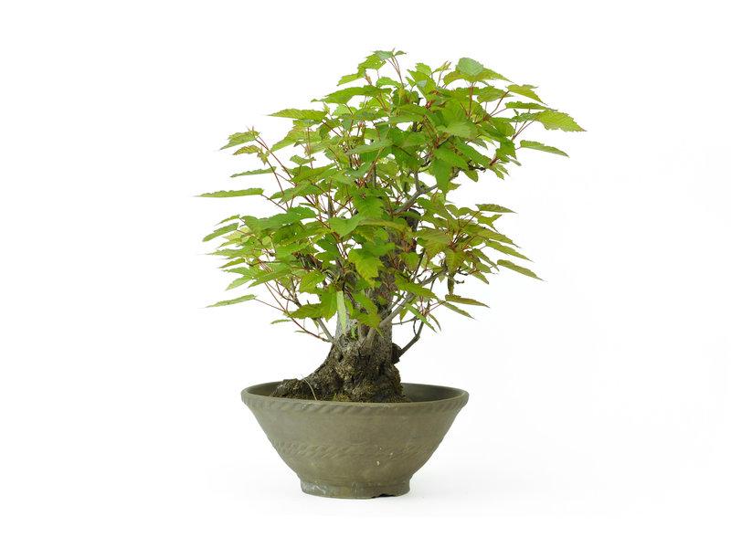 Acero tridente, 31 cm, ± 20 anni