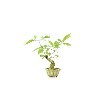 Winged spindletree (Nishikigi), 20 cm, ± 16 years old