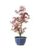 Acero tridente (Deshojo), 33 cm, ± 8 anni