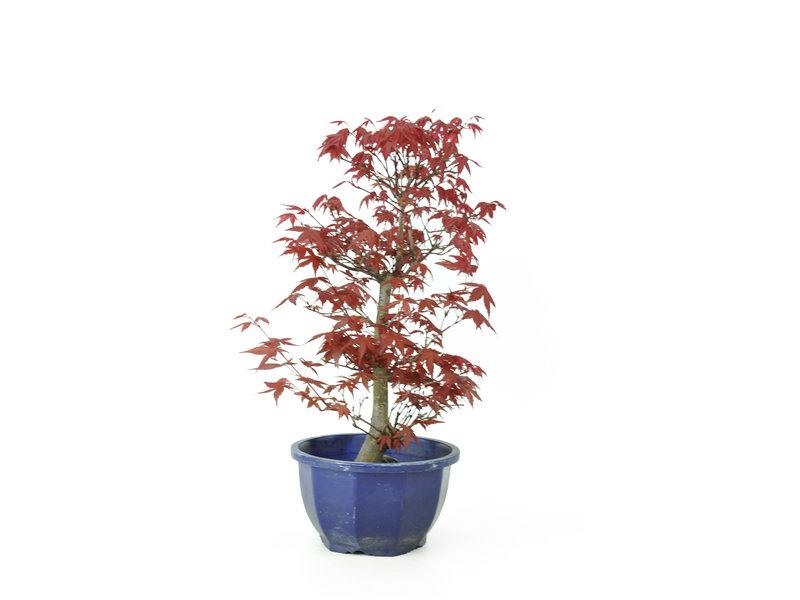 Acero tridente (Deshojo), 28 cm, ± 8 anni