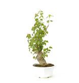 Érable trident, 36 cm, ± 11 ans
