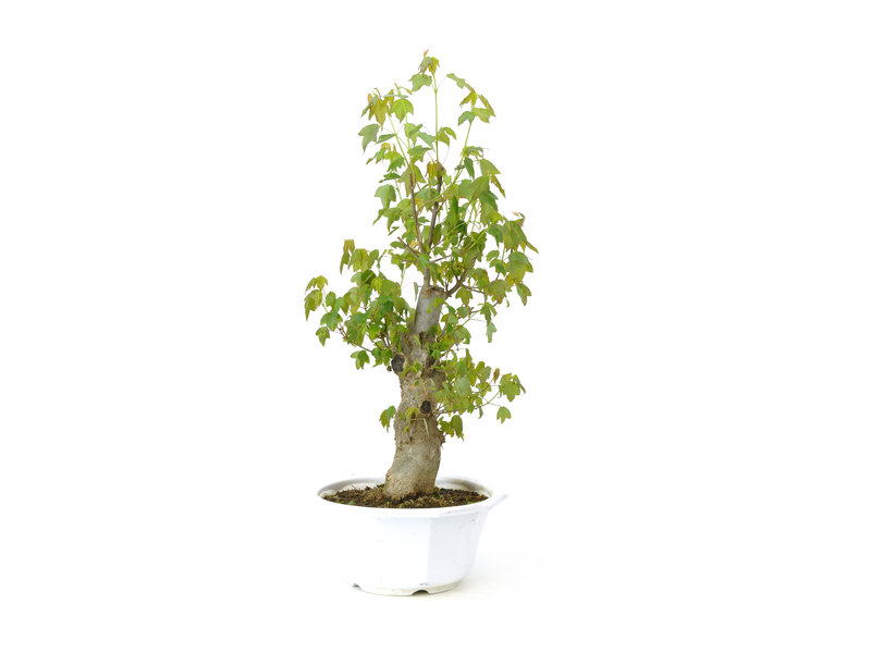 Trident maple, 36 cm, ± 11 years old